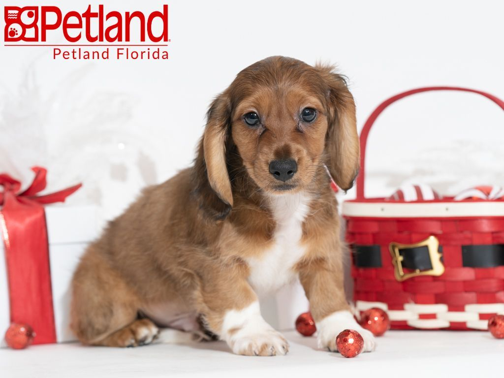 Petland Florida Has Dachshund Puppies For Sale Check Out All Our Available Puppies Dachshund Petlandk Puppy Friends Dachshund Puppies For Sale Dog Lovers