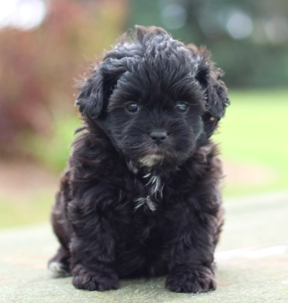 Have you been thinking about adopting a Shichon? This is