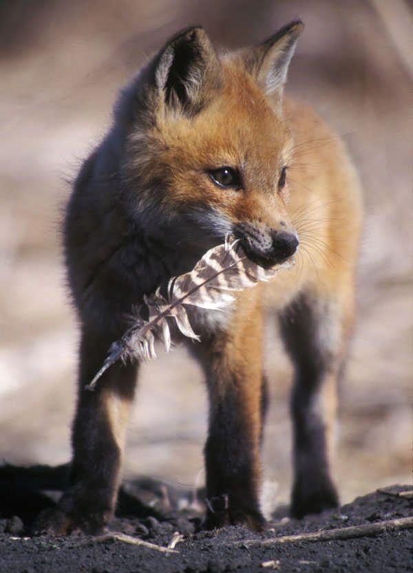 My Favorite Fox Pup Photo #cutefox