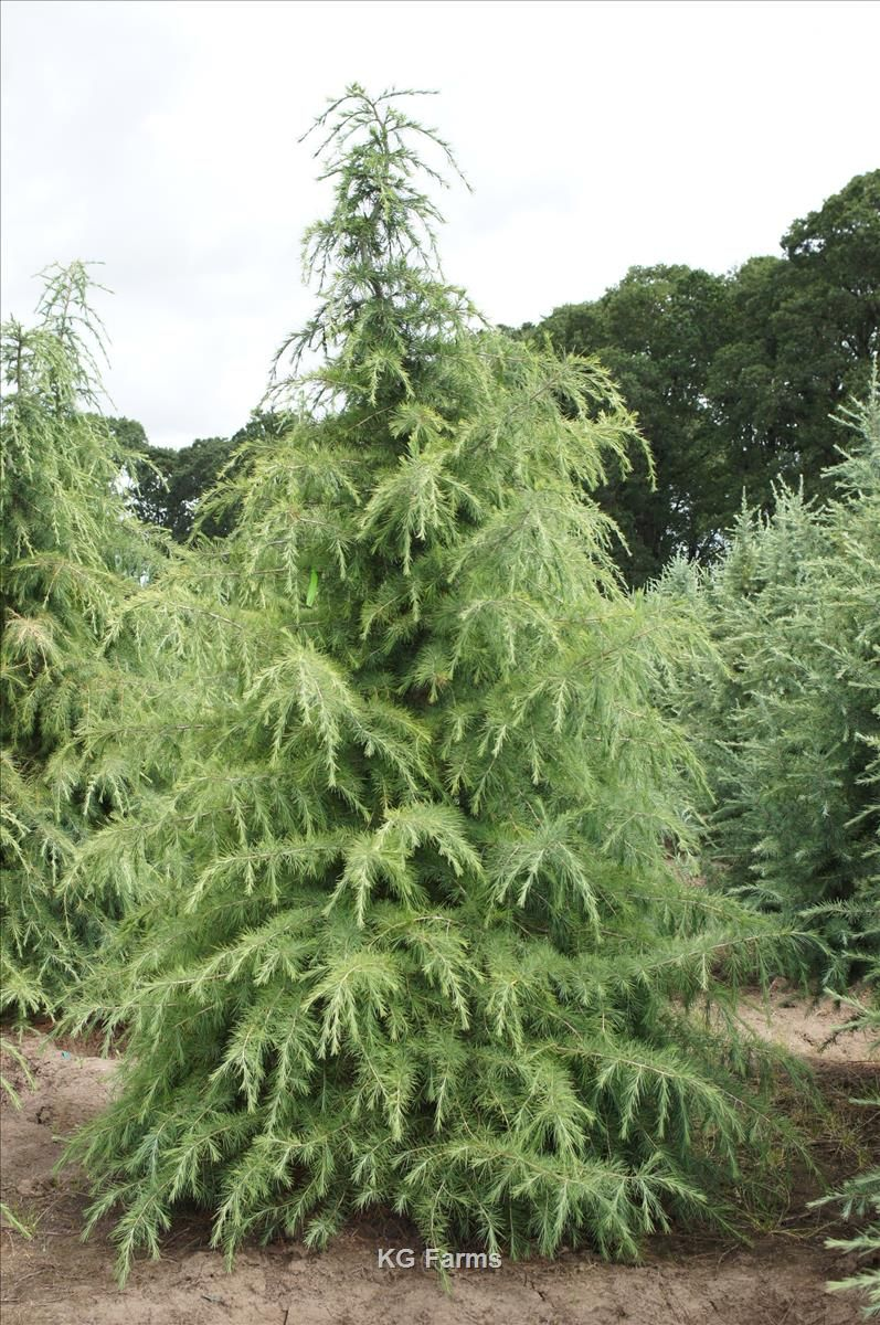 Cedrus Deodara Whole Nursery Supplies Plant Growers In Oregon Guide