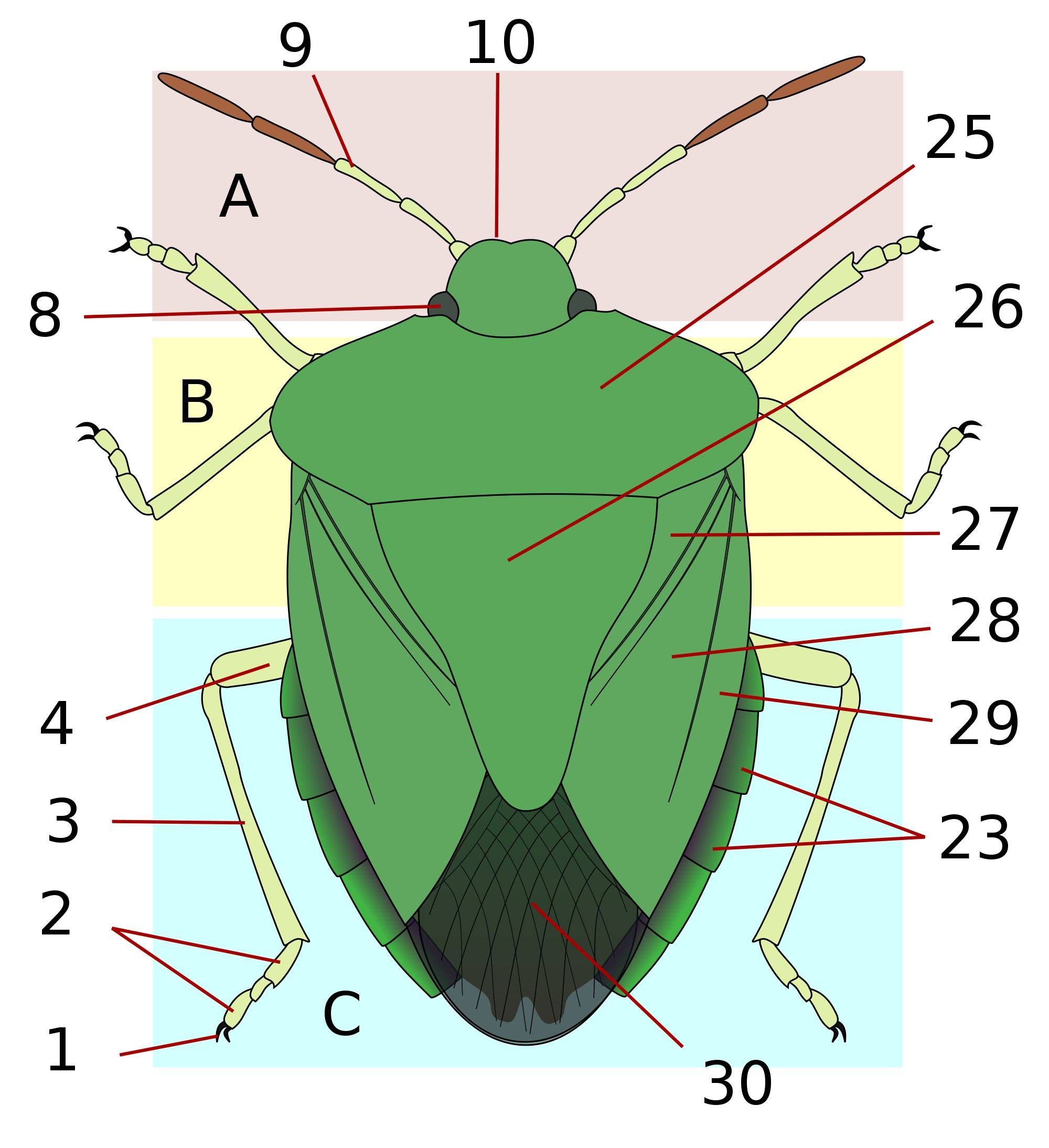 Heteropteran anatomy