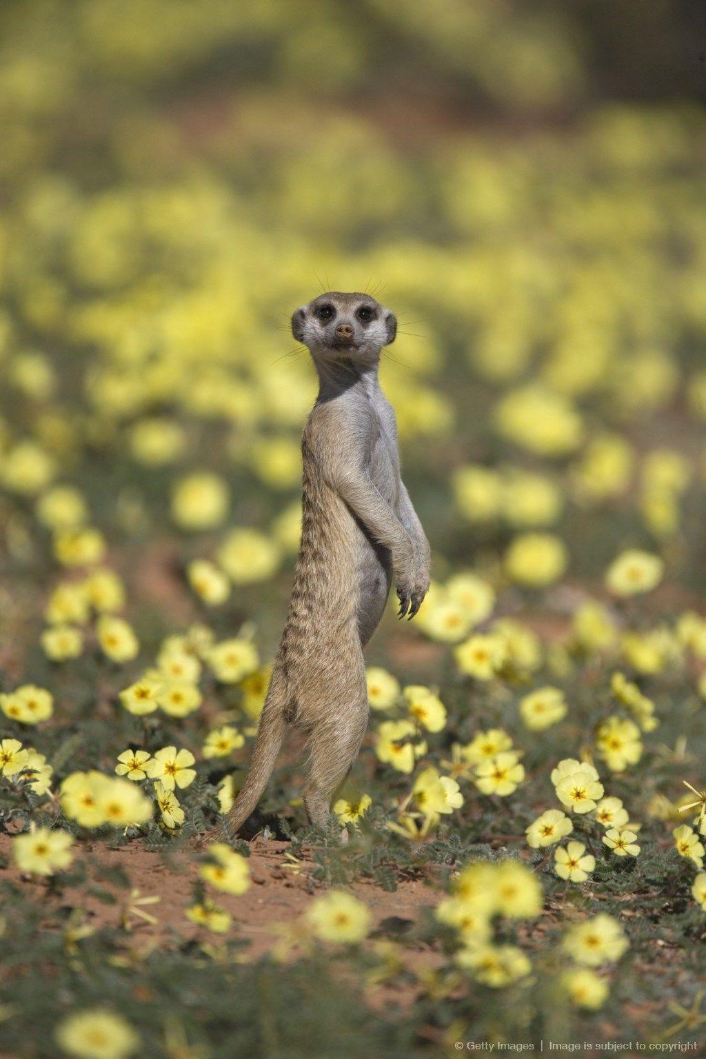 cfc9c93e4e0 Suricata, Kgalagadi Sudáfrica | África mía | Animales de africa ...