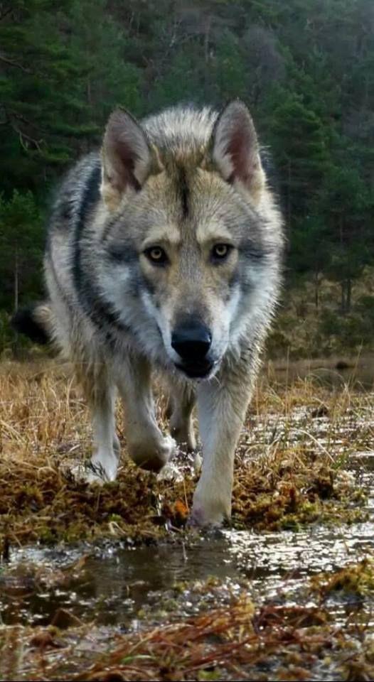 Saarloos Wolfdog Norway