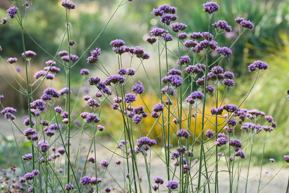 10 Tall Annual Flowers for Impact in the Garden | Annual flowers, Drought  resistant plants, Tall flowers