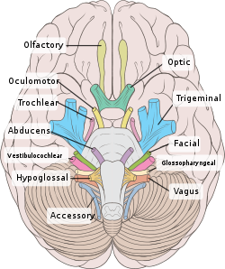 Cranial Nerves Wikipedia The Free Encyclopedia Cranial Nerves Anatomy Nerve Anatomy Anatomy And Physiology