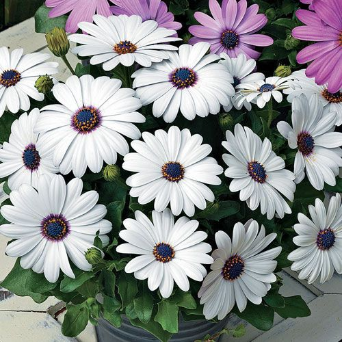 Asti White Osteospermum Seeds Bonsai Plants Flower Seeds Rare