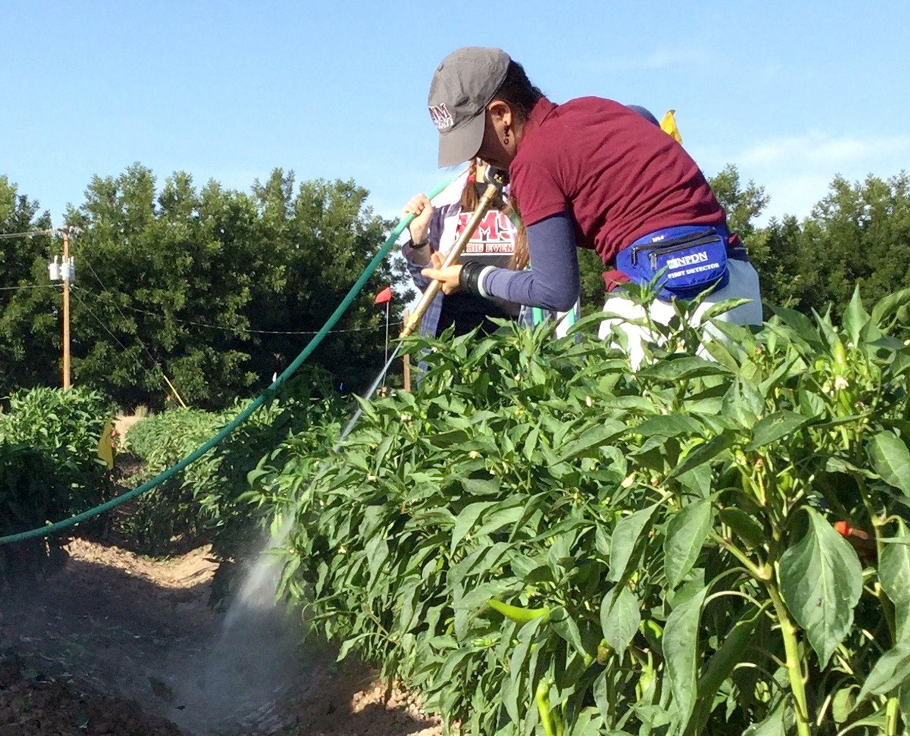 NMSU researchers study hail damage to paprika chile with