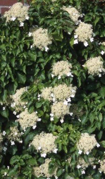 De klimhortensia bloeit volop in juni-juli met zijn prachtige bloemen, maar als u geluk heeft bloeit hij nog wat langer door.
