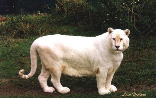 Snow White Tiger Big Cats Animals White Tiger