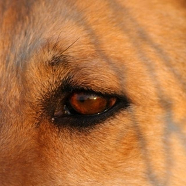 Home Remedies For Conjunctivitis In Dogs Cherry Eye In Dogs Eye