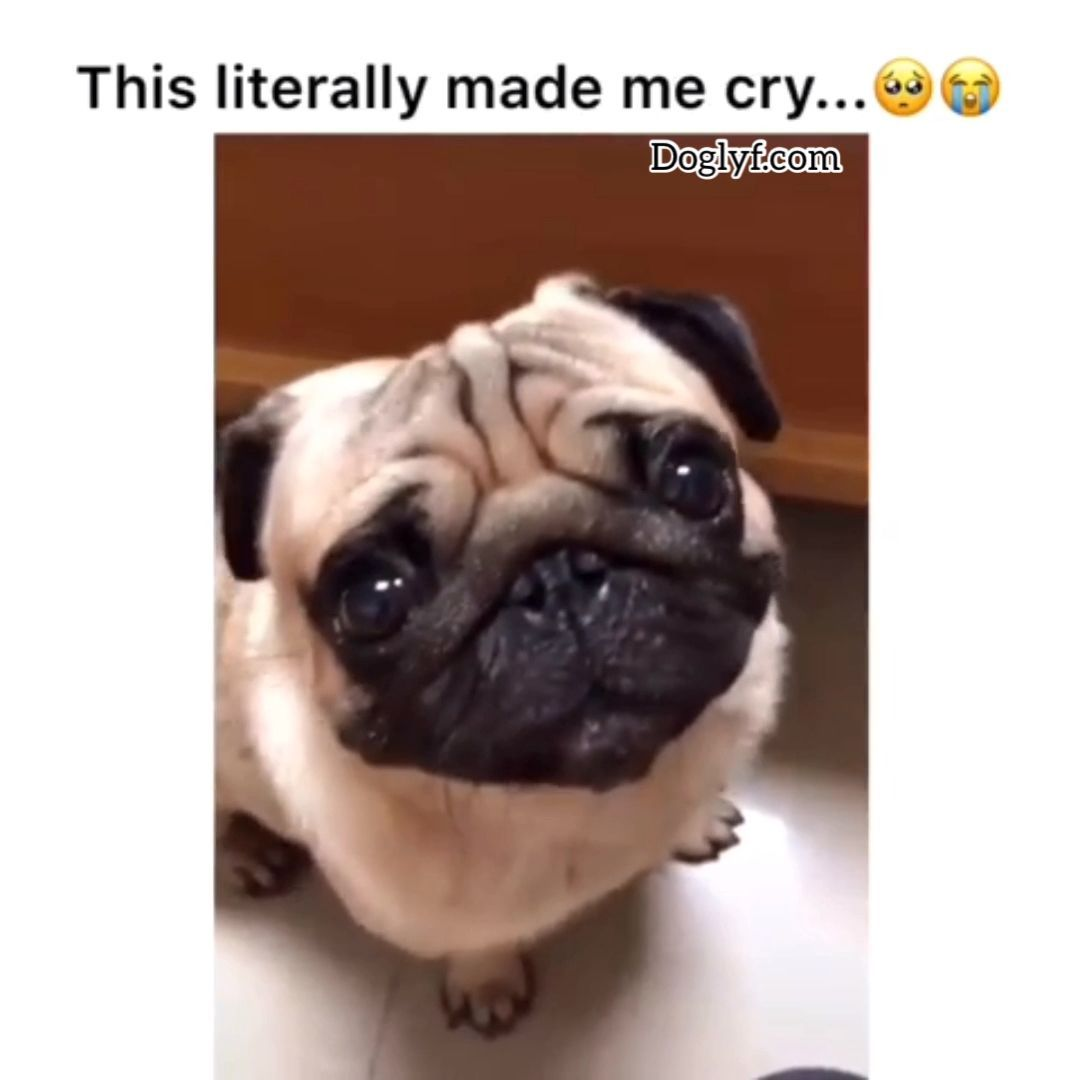 This Made Me Cry In 2020 Pugs Funny Cute Funny Animals
