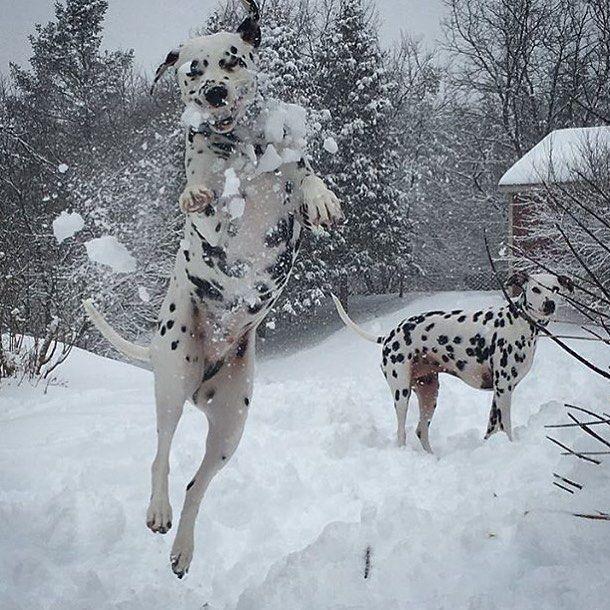 Dalmatian Puppies for sale Prices Virginia USA