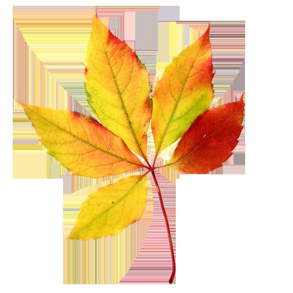 """Résultat de recherche d'images pour """"fall leaf png"""""""