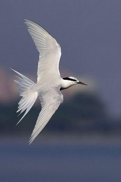 Black-naped Tern in flight