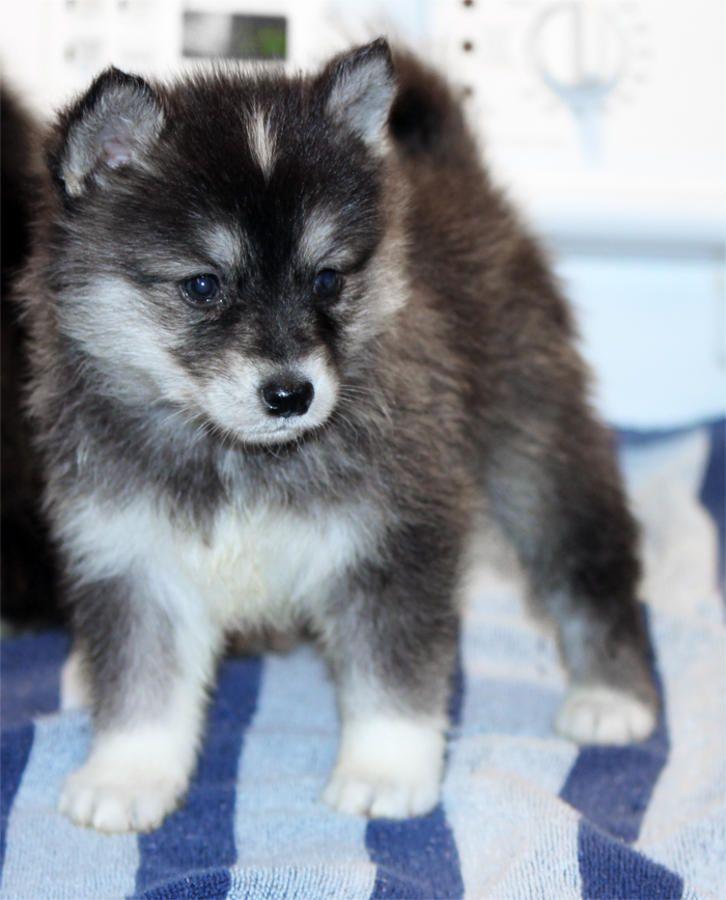 Pomsky Puppies Pomeranian Husky Pomsky Puppies Puppies Alaskan Klee Kai