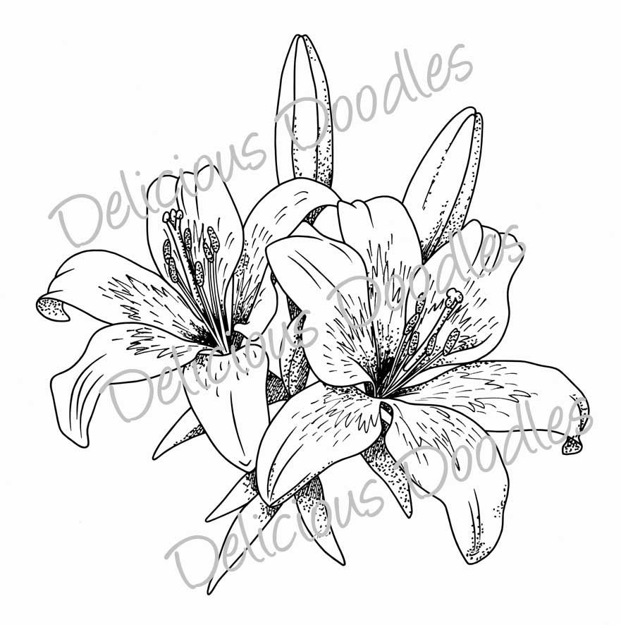 Lily Tattoo Line Drawing : Stargazer lily sketch teri s world lovely lillies ink