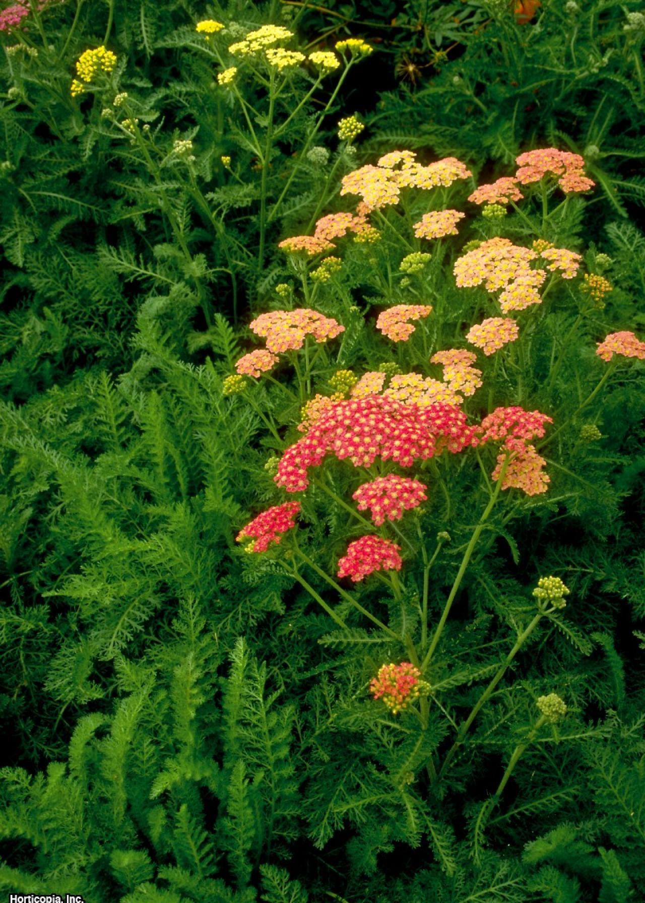 Yarrow Botanical Name Achillea Spp Plant Type Flower Sun Exposure Full Sun Soil Type Loamy Sandy Soil Ph Varies Bloom Ti In 2020 Yarrow Plant Plants Yarrow Flower