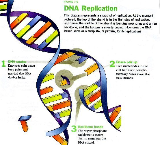 Dna replication steps diagram very artistic how to draw pinterest dna replication steps diagram very artistic ccuart Images