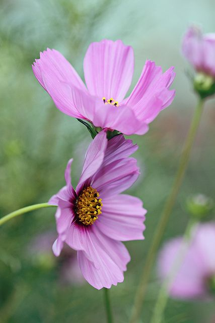 Lean On Me Cosmos Flowers Cosmos Plant Beautiful Flowers