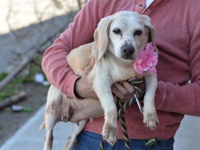 SAFE 4-28-2015 by Friends of Homeless Animals --- SUPER URGENT LILLY – A1034130  FEMALE, BROWN / WHITE, BEAGLE, 10 yrs STRAY – STRAY WAIT, NO HOLD Reason STRAY Intake condition ILLNESS Intake Date 04/23/2015