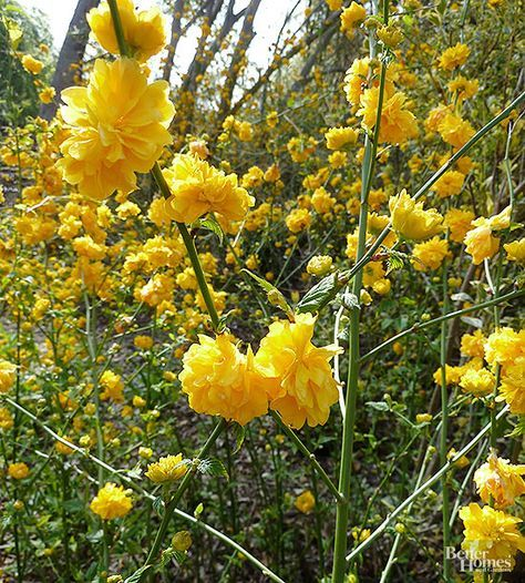 14 Beautiful Shrubs That Will Thrive In Shady Yards Shade Shrubs