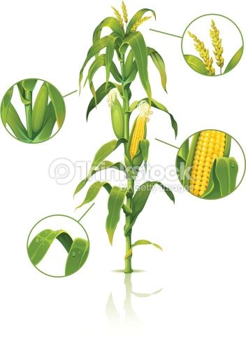 Encyclopedic Vector Illustration Of Corn Stalk Corn Stalks Corn Drawing Vegetable Drawing