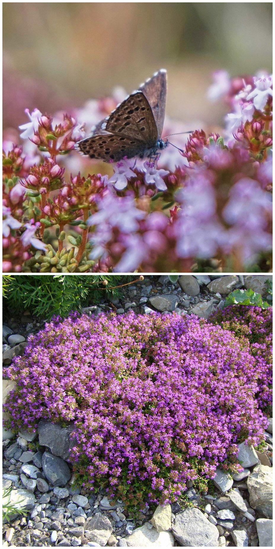 Nicht Nur Ein Attraktiver Bodendecker Sondern Auch Ein Bienen Und Schmetterlingsmagnet Das Ist Der Garten Thymian Im Pflanzen Thymian Pflanzen Tom Garten