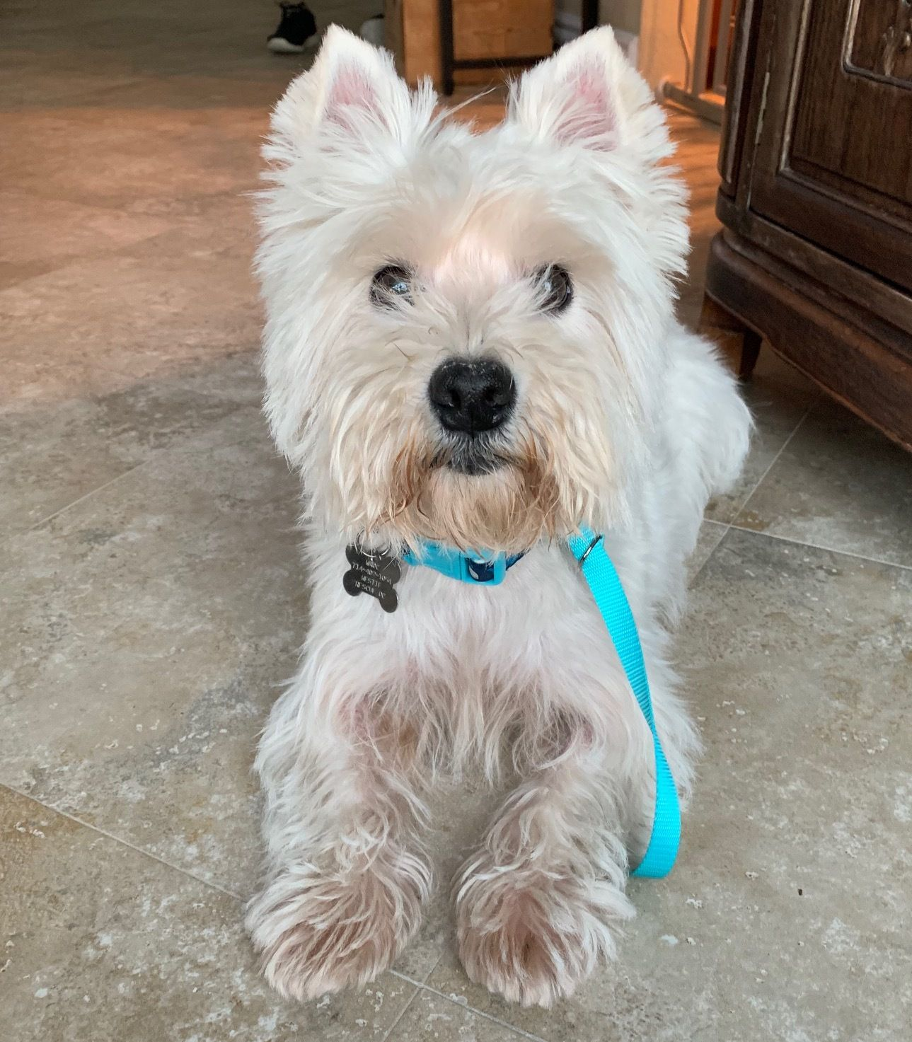 Adopt Chester on West highland white terrier, Dog