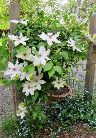 Vancouver series clematis fragrant star shading the forget me nots vancouver series clematis fragrant star shading the forget me nots mightylinksfo