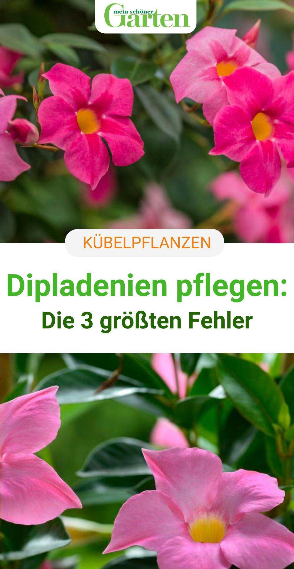 Kubelpflanzen Dipladenien Pflegen In 2020 Kubelpflanzen Pflanzen Garten Pflanzen