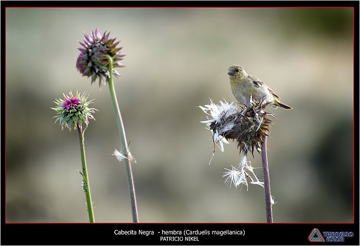 CABECITA NEGRA COMÚN ( Carduellis magellanica )