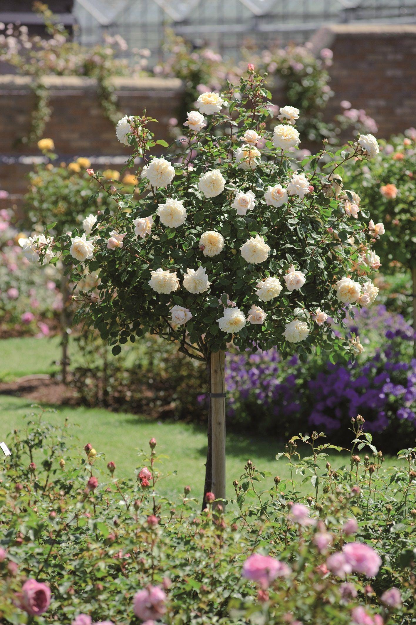 Crocus Rose Standard (Ausquest)