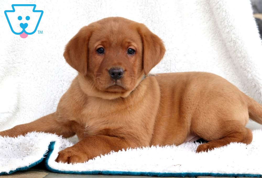 Maddox Labrador Retriever Fox Red Puppy For Sale Keystone Puppies In 2020 Labrador Retriever Red Lab Puppies Puppies For Sale