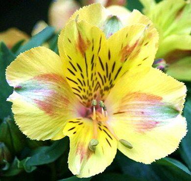 Princess Lily Felicia Dwarf Yellow Alstroemeria Plant Alstroemeria Plants Lily Plants Alstroemeria