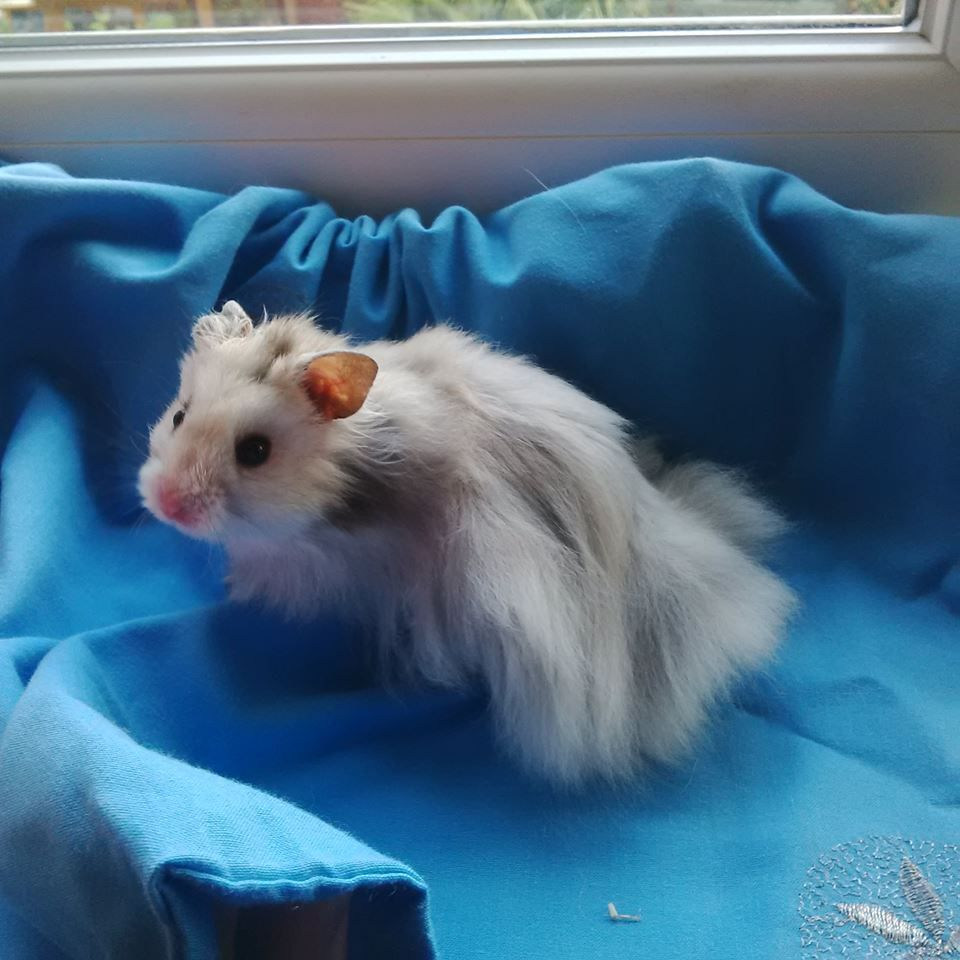 Long Haired Hamster Colors 92