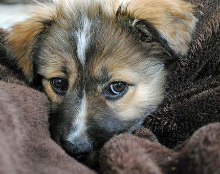 Australian Shepherd Chow Chow German Shepherd Mix Puppy