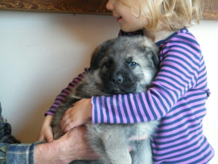 Gorgeous Silver Sable German Shepherd 4 5 Week Old Puppy From