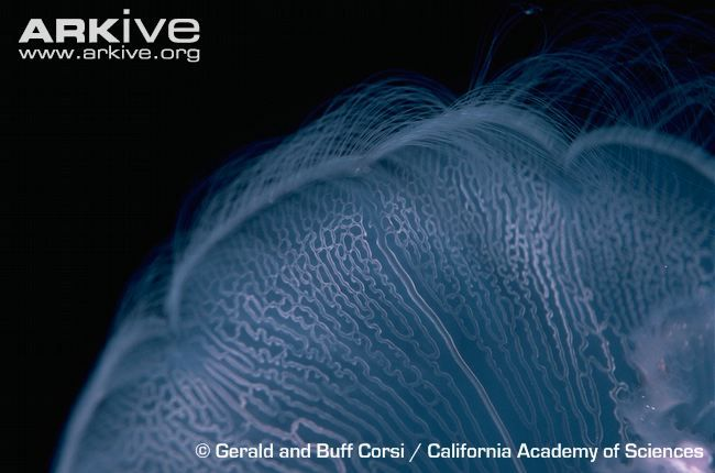 Common-jellyfish-close-up.jpg (650×430)