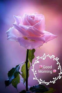 Good Morning Image Flower Image Free Download Whatsapp Dp Love Dp Whatsap Good Morning Flowers Good Morning Beautiful Images