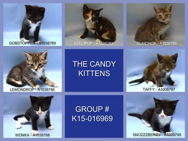 Safe 06 07 15 Candy Kittens Grp K15 016969 Brooklyn 4 Weeks
