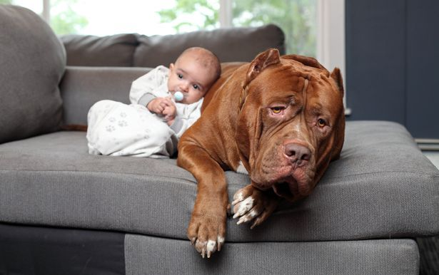 Parents allow the world's biggest pit bull to 'babysit' their newborn baby