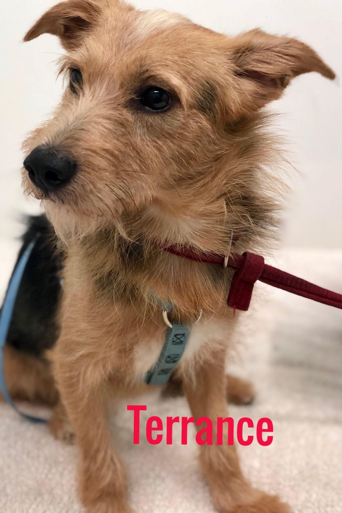Adopt Terrance on Animal welfare society, Terrier mix