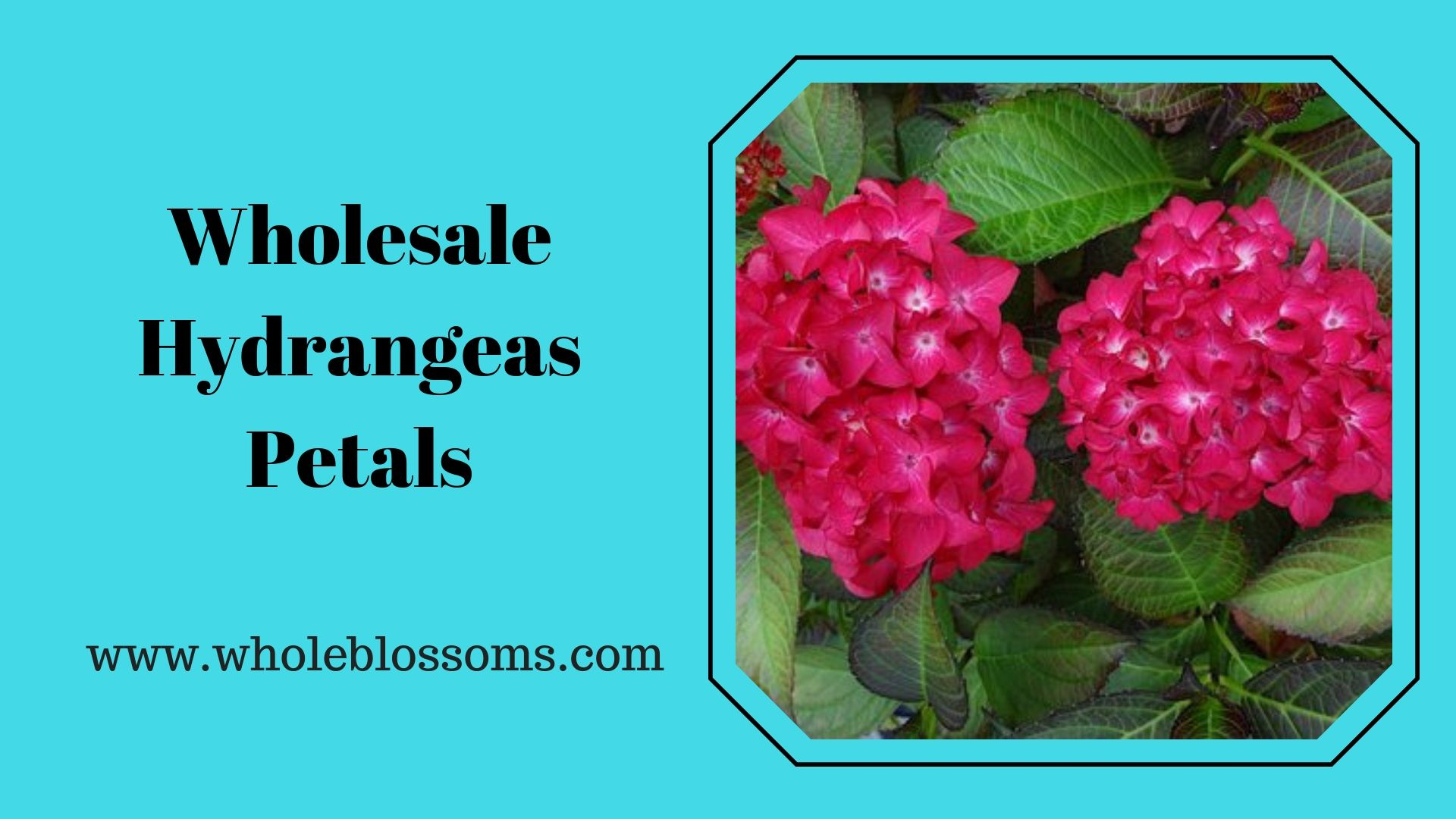 Order Wholesale Hydrangeas Flowers From Whole Blossoms Hydrangea Flower Flowers For Sale Hydrangea