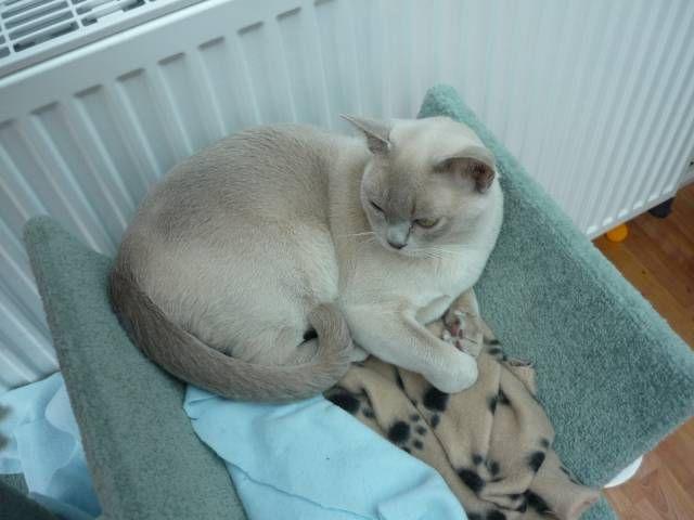 Blog About Cats Russian Blue Kittens Russian Blue Kitten