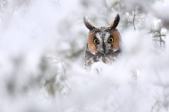 long-eared owl        (photo by studebakerbirds)