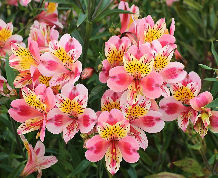 Alstroemeria Flower Meaning And Symbolism In Everyday Lives Flower Meanings Alstroemeria Peruvian Lilies