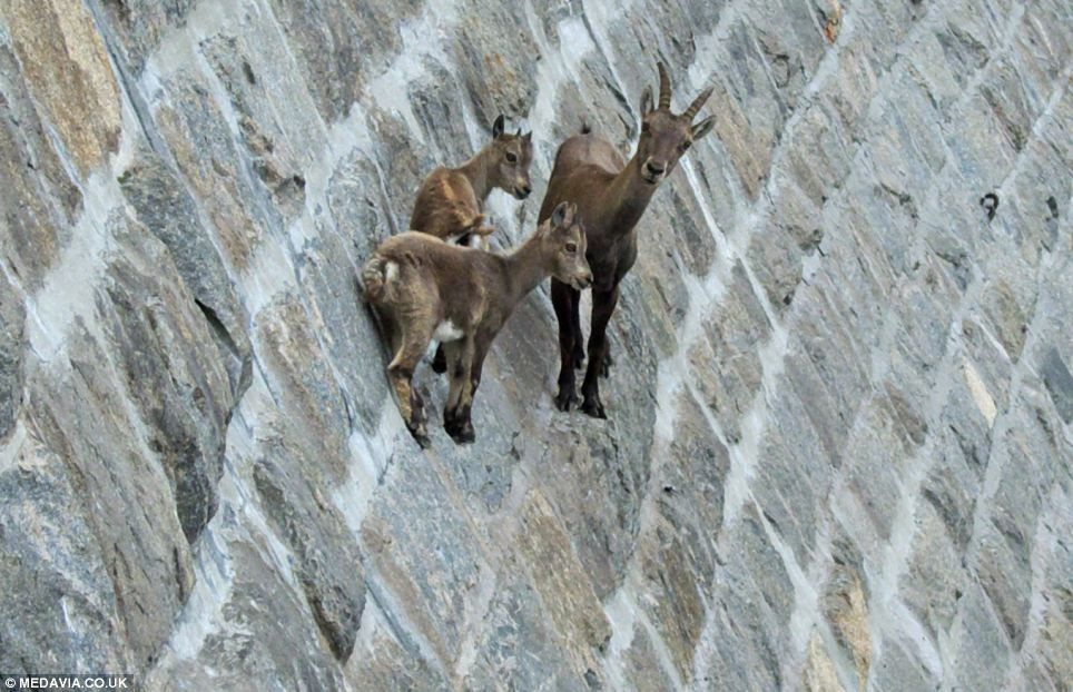 The death-defying goats that don't give a dam! Animals scale Italian lake's near-vertical barrier to lick stones for their minerals #articlesblog