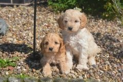 Beautiful Golden Cockapoo Babies Puppies For Sale Cocker Spaniel English Puppies For Sale Puppies For S Puppies For Sale Designer Dogs Breeds Baby Puppies