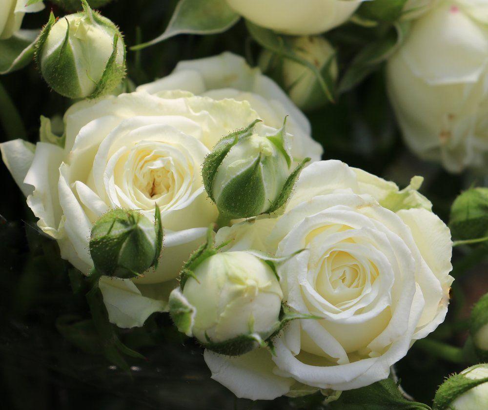 Spray Rose Collection Eufloria Flowers White Spray Roses Spray Roses Flowers