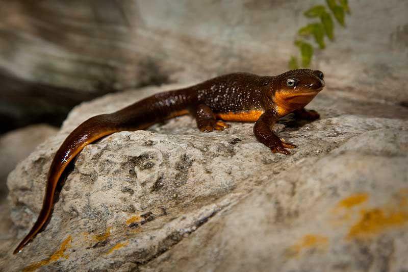 Amphibians Amphibians Newt Animal Young Animal